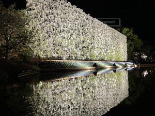 藤の花カーテンの写真・画像素材[4768867]