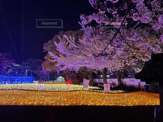 イルミネーションに照らされる夜桜の写真・画像素材[4768866]