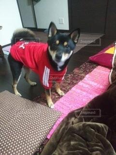 衣装を着た犬の写真・画像素材[4770136]