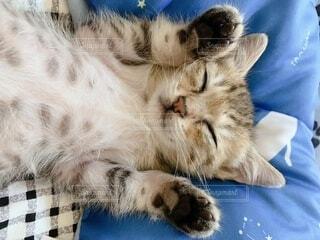 仰向け猫の写真・画像素材[4769127]