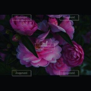 暗い花の写真・画像素材[4769164]