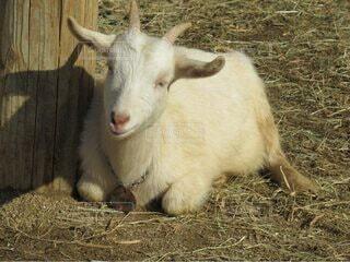 干し草の上に座ってるヤギの写真・画像素材[4769184]