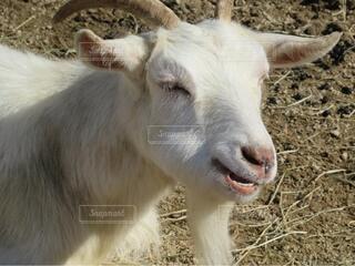 乾燥した草原に立っているヤギの写真・画像素材[4769188]
