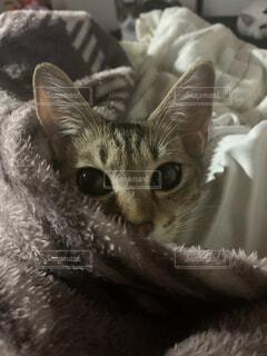 布団にくるまる猫の写真・画像素材[4802940]