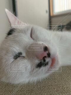 舌をだしたま寝る猫の写真・画像素材[4812614]