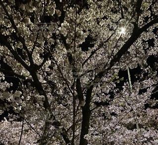 春の夜の写真・画像素材[4769484]