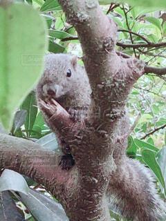 木からこちらを覗くリスの写真・画像素材[4769393]