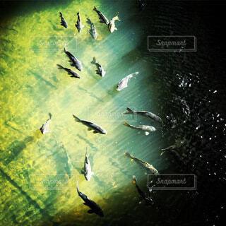 鯉たちの写真・画像素材[4773796]