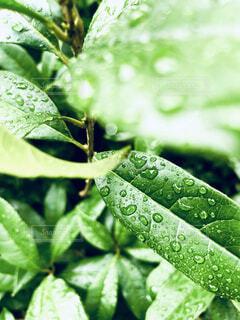 緑の葉のクローズアップの写真・画像素材[4769626]