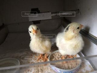 卵から孵りました!の写真・画像素材[4775885]