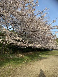 桜の写真・画像素材[4770198]