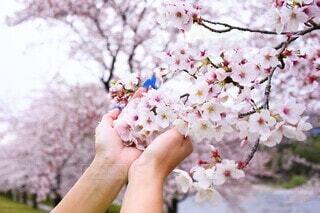 〝サクラ🌸〟~出会いもあれば別れもある季節~の写真・画像素材[4770286]