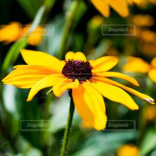 ルドベキア・ヒルタの花の写真・画像素材[4773160]
