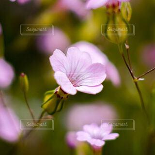ピンク色の小さな花の写真・画像素材[4773156]