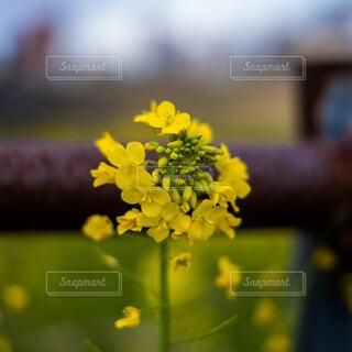 菜の花の写真・画像素材[4773161]