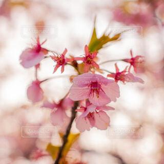 桜の写真・画像素材[4773162]
