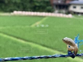 おたまじゃくしからカエルになるまであと少し…の写真・画像素材[4770782]