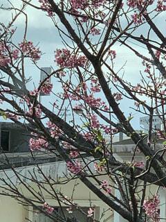 桜咲くの写真・画像素材[4771286]
