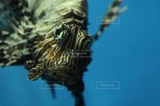 ミノカサゴの写真・画像素材[4770996]