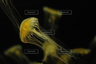 クラゲの写真・画像素材[4770998]
