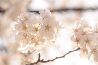 桜のアップの写真・画像素材[4771000]