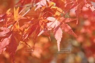 紅葉のアップの写真・画像素材[4771006]