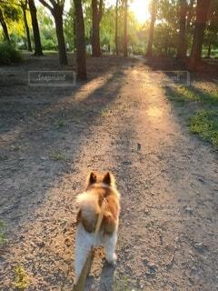 朝陽に向かう犬の写真・画像素材[4771491]