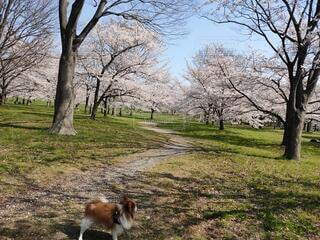 ソメイヨシノを見る小犬の写真・画像素材[4771569]