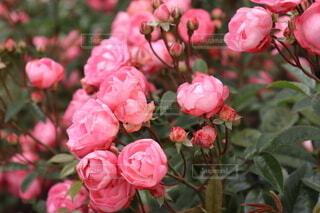 バラですの写真・画像素材[4773357]