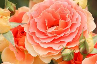 バラですの写真・画像素材[4773358]