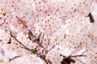 桜ですの写真・画像素材[4773757]