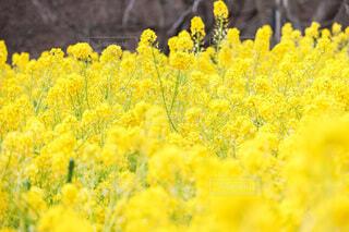 菜の花ですの写真・画像素材[4773764]