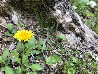 木の根元に生えるタンポポの写真・画像素材[2092488]