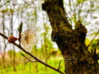 木の枝のつぼみと桜の写真・画像素材[2092938]
