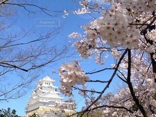 姫路城改修直後の桜の写真・画像素材[4773691]