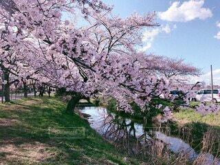 川沿いの桜の写真・画像素材[4772125]