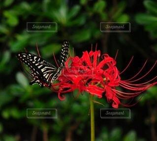 彼岸花と蝶々のクローズアップの写真・画像素材[4822090]