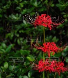 彼岸花と蝶々の写真・画像素材[4822491]