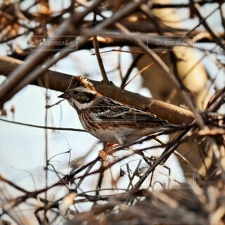 木の枝に止まっているカシラダカの写真・画像素材[4784551]