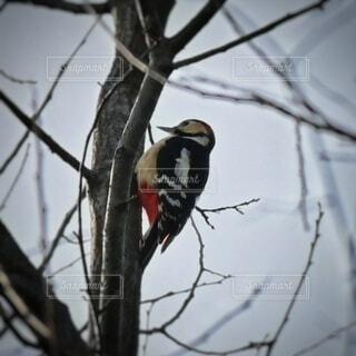 木に止まっているアカゲラの写真・画像素材[4784552]