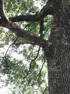 大きな木の写真・画像素材[735661]