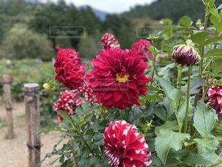 ダリアの花のクローズアップの写真・画像素材[4812575]