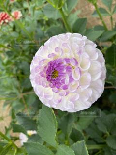 ダリアの花のクローズアップの写真・画像素材[4812640]