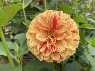 ダリアの花のクローズアップの写真・画像素材[4812642]