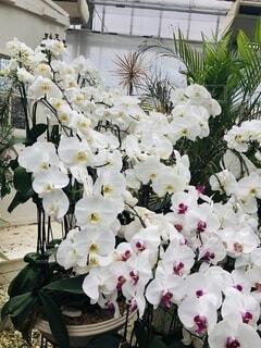 白い胡蝶蘭の花の写真・画像素材[4849062]