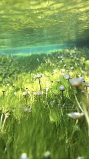 水中の梅花藻の写真・画像素材[4798656]