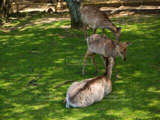 奈良公園で休憩中の鹿の写真・画像素材[4802088]