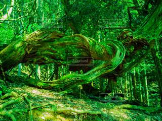 深緑の大木の写真・画像素材[4807675]
