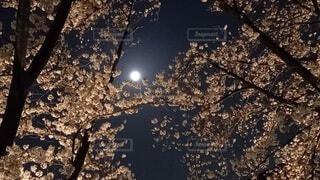 月と桜の写真・画像素材[4819943]