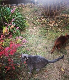 紅葉の庭で遊ぶ猫たちの写真・画像素材[4798228]